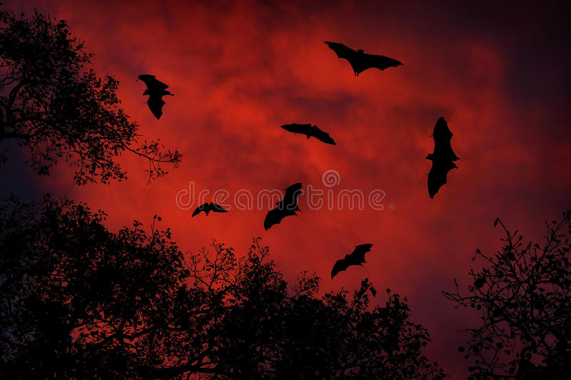Night wildlife with bats. Giant Indian Fruit Bat, Pteropus giganteus, on red sunset dark sky. Flying mouses in the nature habitat,. Sri Lanka royalty free stock photography