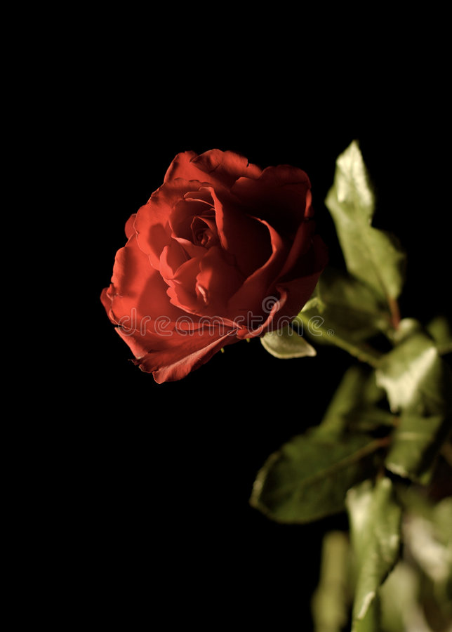 Night winter rose royalty free stock images