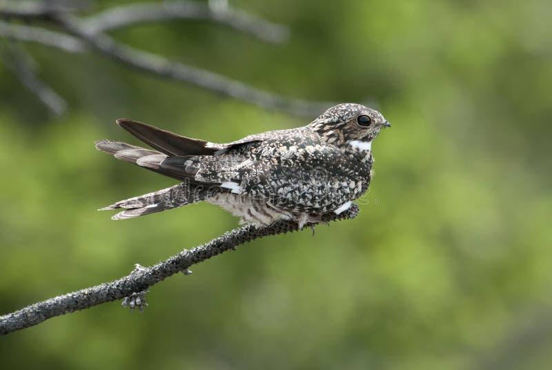 Nighthawk comune fotografia stock libera da diritti
