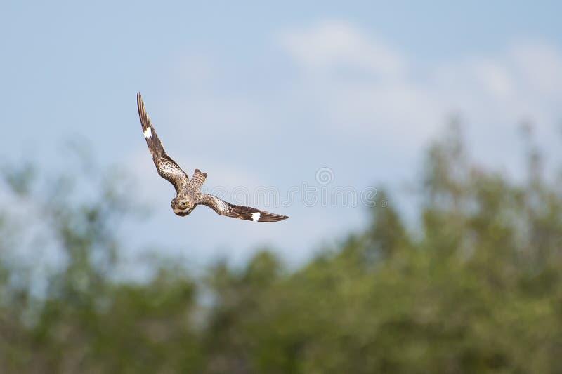 Nighthawk Swooping imagen de archivo libre de regalías