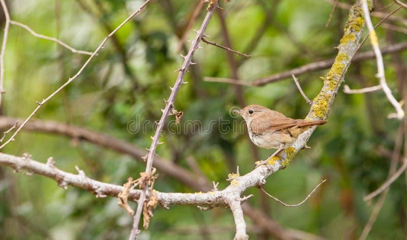 Nightingale στοκ φωτογραφία με δικαίωμα ελεύθερης χρήσης