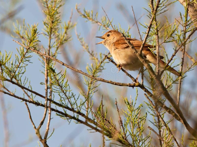 Nightingale di canto fotografia stock libera da diritti