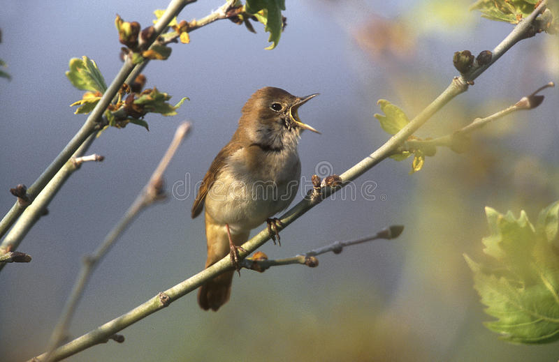 Nightingale, Luscinia megarhynchos royalty free stock photography