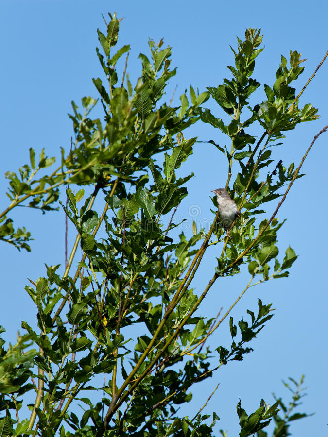 Nightingale in the summer among green foliage. And bush branches royalty free stock photography