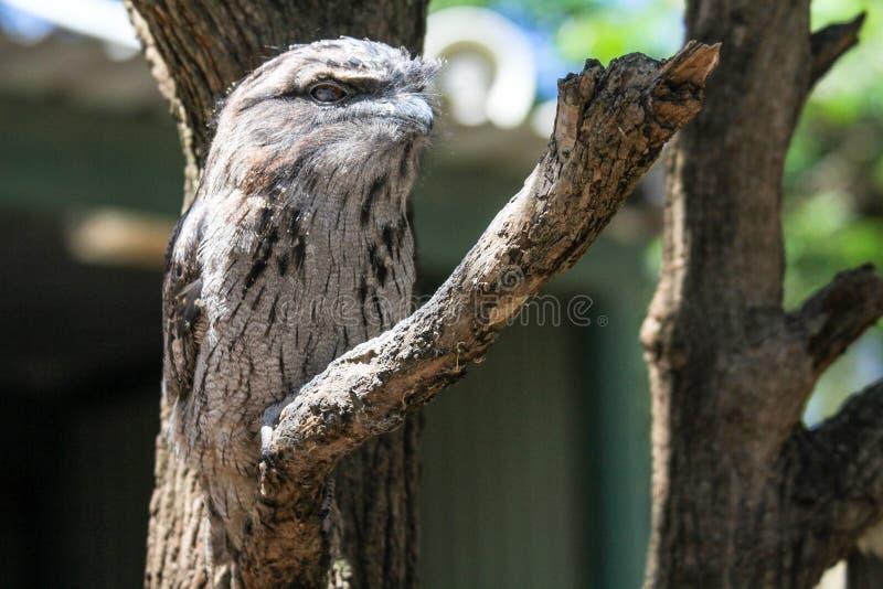 Nightjar australiano che si nasconde con il suo cammuffamento della piuma sul ramo, Sydney Australia del frogmouth fotografia stock