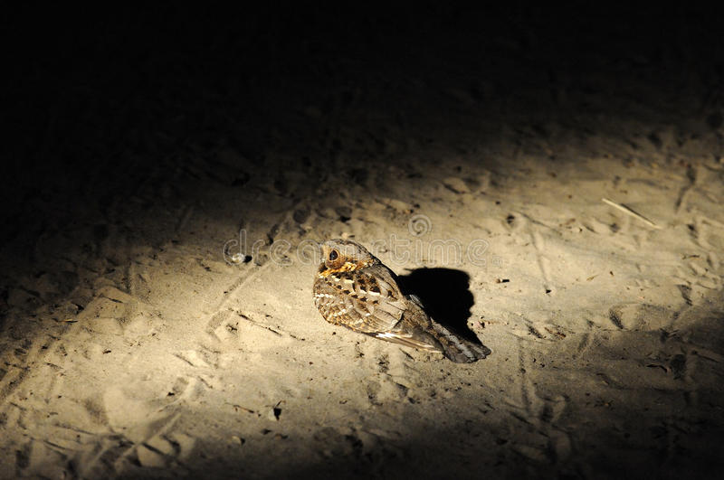 Nightjar in the light royalty free stock images