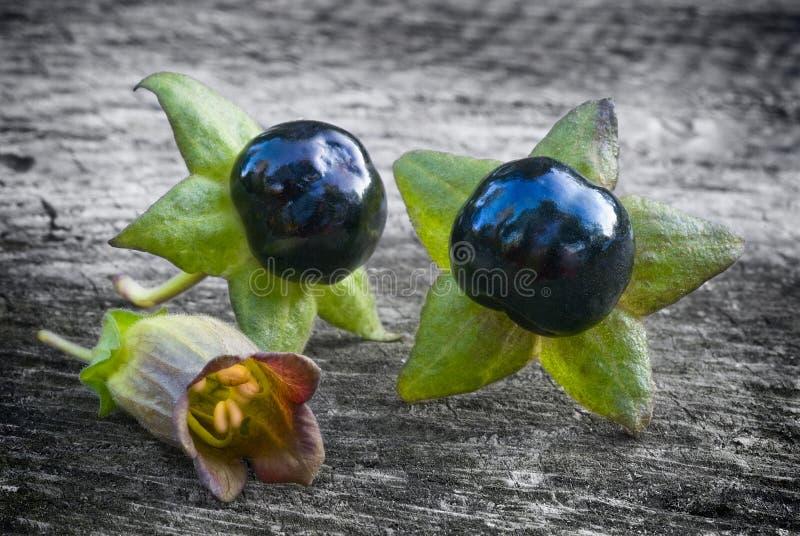 Nightshade mortal (beladona da atropa), bagas e flor fotos de stock royalty free