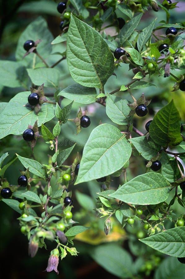 Nightshade mortal (belladona del Atropa), bayas y flores imagen de archivo