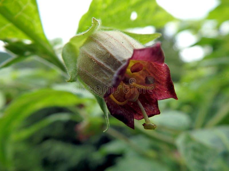 Nightshade mortal, flor da beladona, imagem de stock royalty free