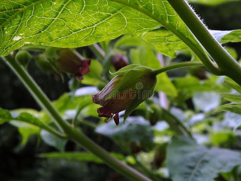 Nightshade mortal, flor da beladona, fotografia de stock royalty free