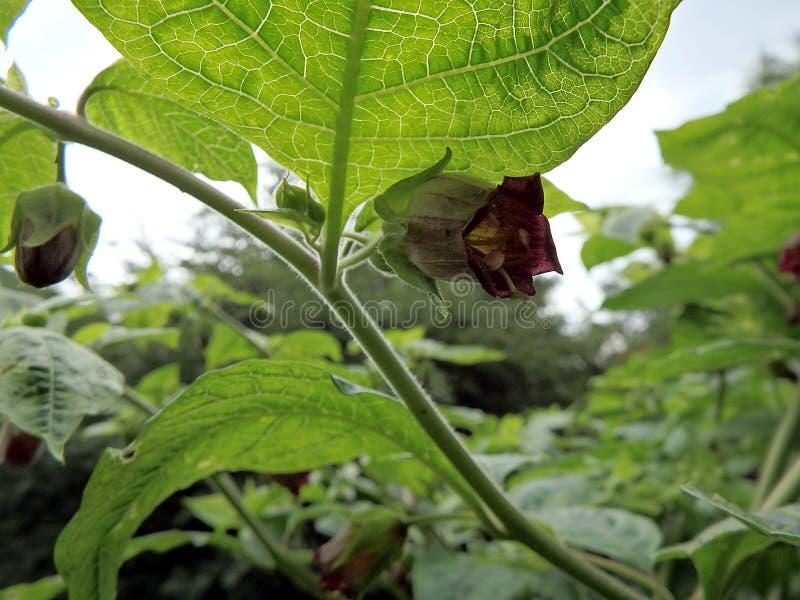 Nightshade mortal, flor da beladona, imagem de stock