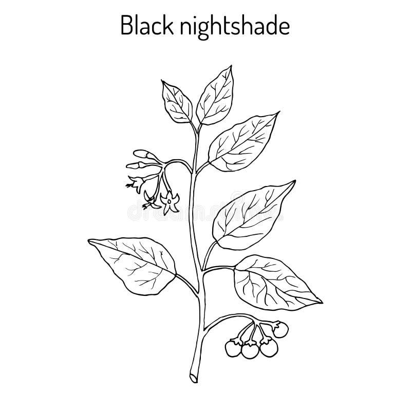 Nightshade preto europeu Solanum Nigrum ou duscle, mirtilo de jardim, morel mesquinho, baga da maravilha, popolo ilustração royalty free