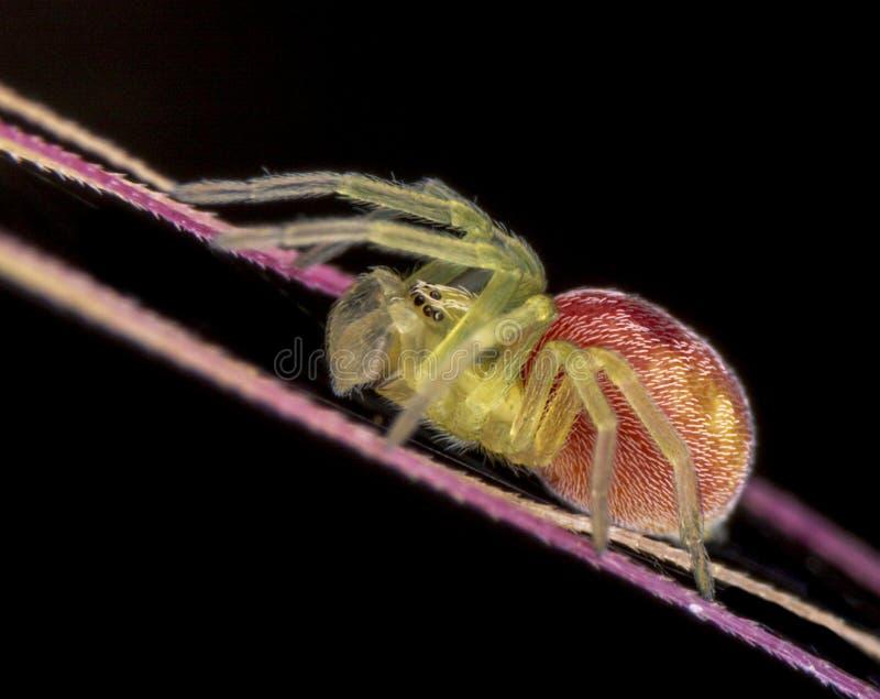 Nigma pająka subadult samiec na czarnym tle obrazy royalty free