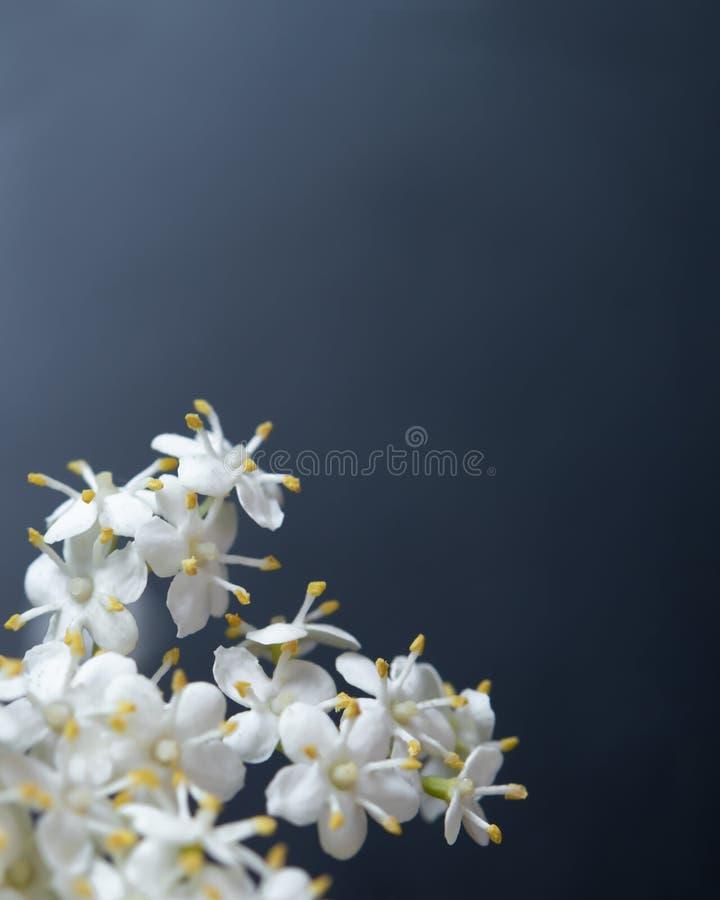 Nigra blanco del sambucus de Elderflower - flores blancas fotos de archivo libres de regalías