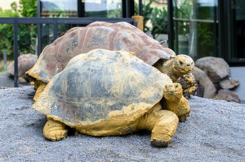 Nigra de Chelonoidis de tortue de Galapagos photos libres de droits