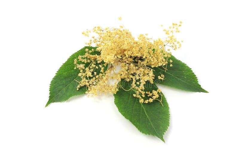 Nigra del Sambucus, flor de la baya del saúco imagen de archivo
