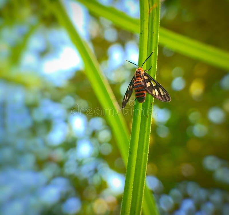 Nigricauda da mosca do inseto do germana de Amata na folha verde fotografia de stock