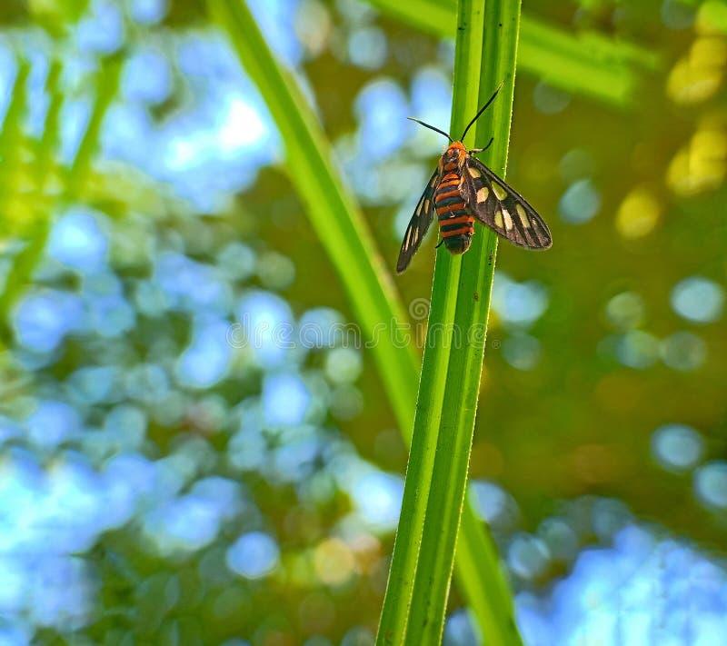 Nigricauda da mosca do inseto do germana de Amata na folha verde foto de stock royalty free