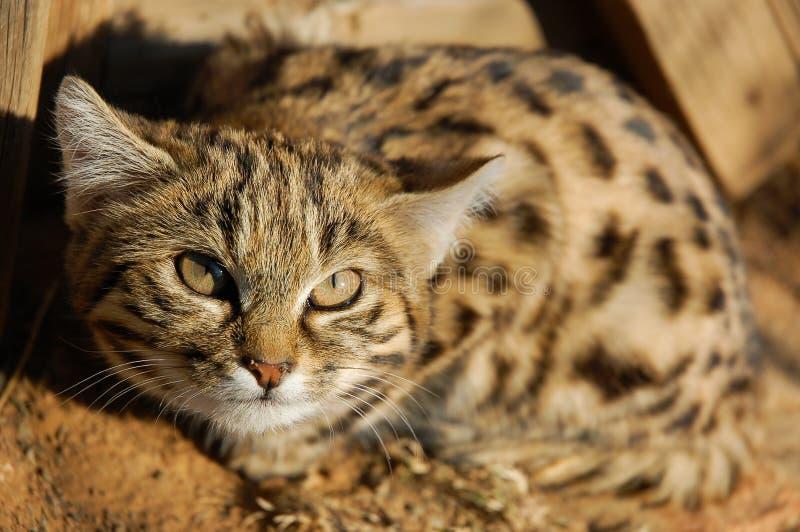 Nigripes aux pieds noirs de Cat Felis photo stock