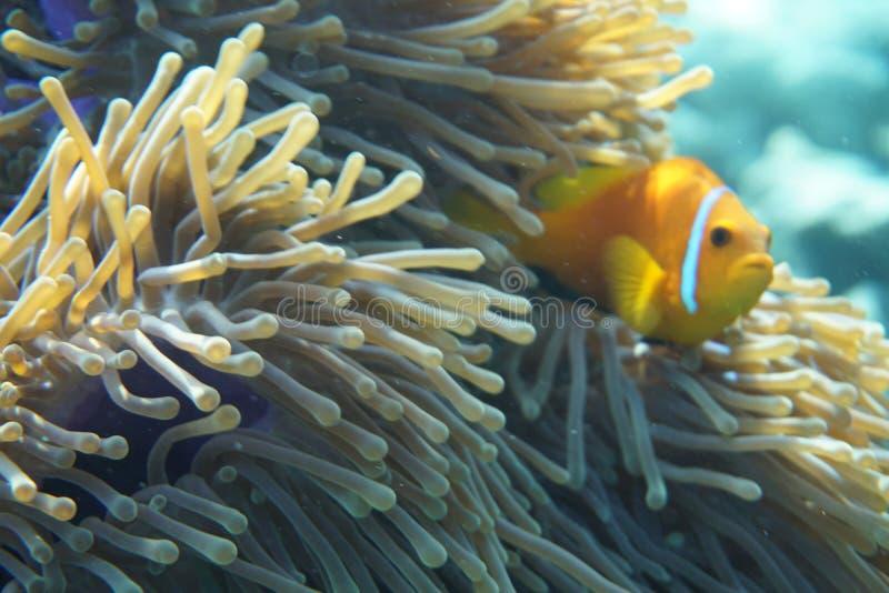 Nigripes del Amphiprion de los anemonefish de Maldivas fotos de archivo