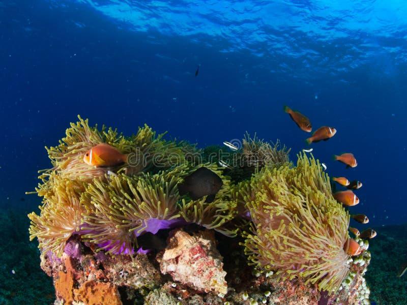 Nigripes do anphiprion de Clownfishes que compartilham de sua anêmona com um peixe da donzela no recife de Maldivas no Oceano Índ imagem de stock