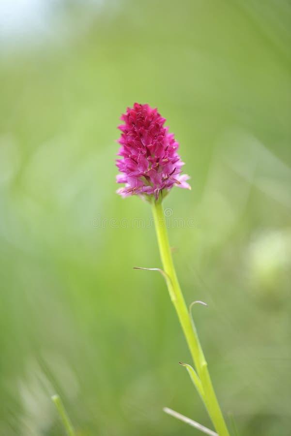 Nigritella rubra makro- strzał Nigritella jest genus kwiatonośne rośliny od storczykowej rodziny Orchidaceae fotografia royalty free