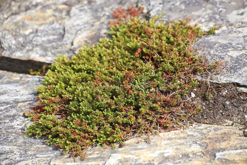 Nigrum d'Empetrum, le crowberry, s'élevant entre la pierre image libre de droits