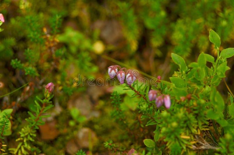 Nigrum fleurissant d'Empetrum de crowberry du fjeld de plateau, tunturi de la Scandinavie du nord image stock
