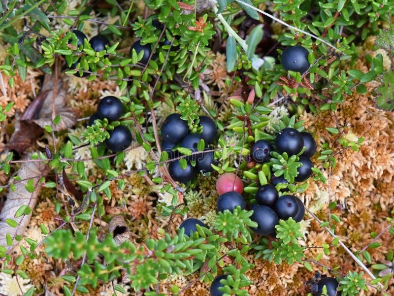 Nigrum noir d'Empetrum de baies de rampement de Crowberry image stock