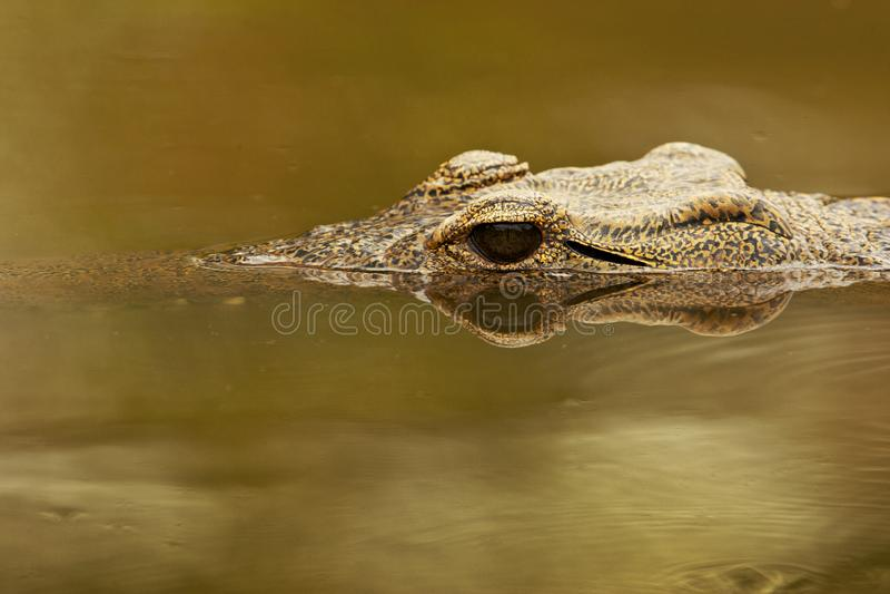 Nijlkrokodil, Nil krokodyl, Crocodylus niloticus fotografia royalty free