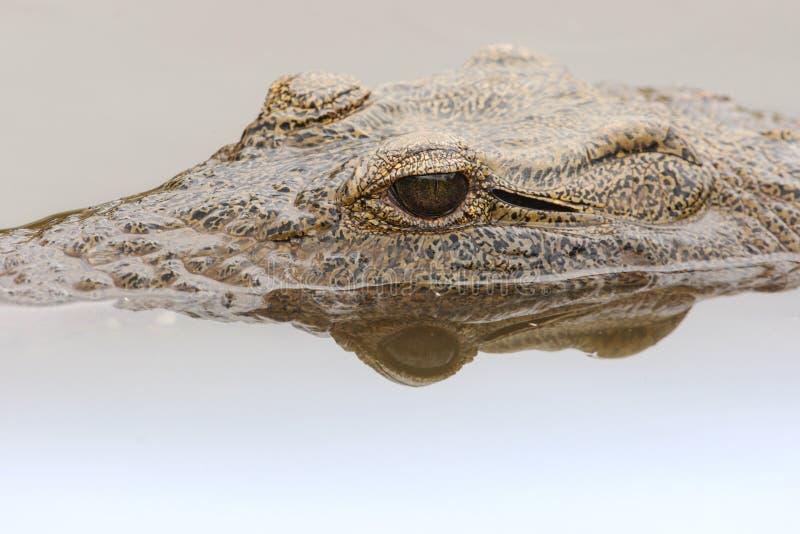 Nijlkrokodil, Nil krokodyl, Crocodylus niloticus fotografia stock
