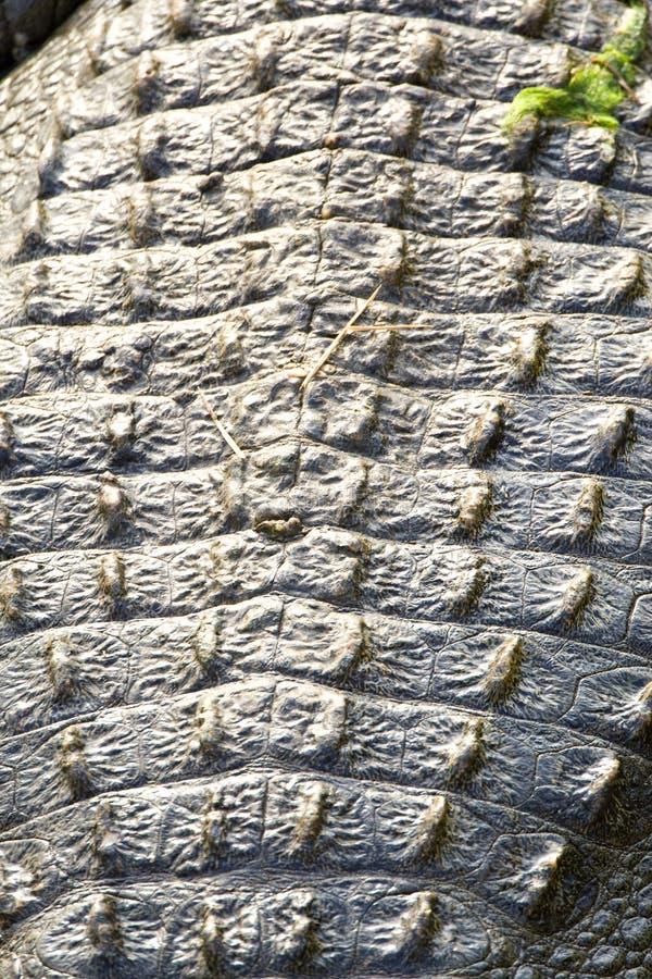 Nijlkrokodil, Nil krokodyl, Crocodylus niloticus zdjęcia stock