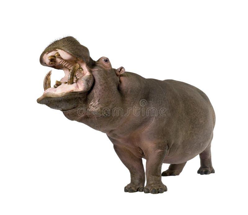 Nijlpaard - amphibius van het Nijlpaard (30 jaar) royalty-vrije stock foto