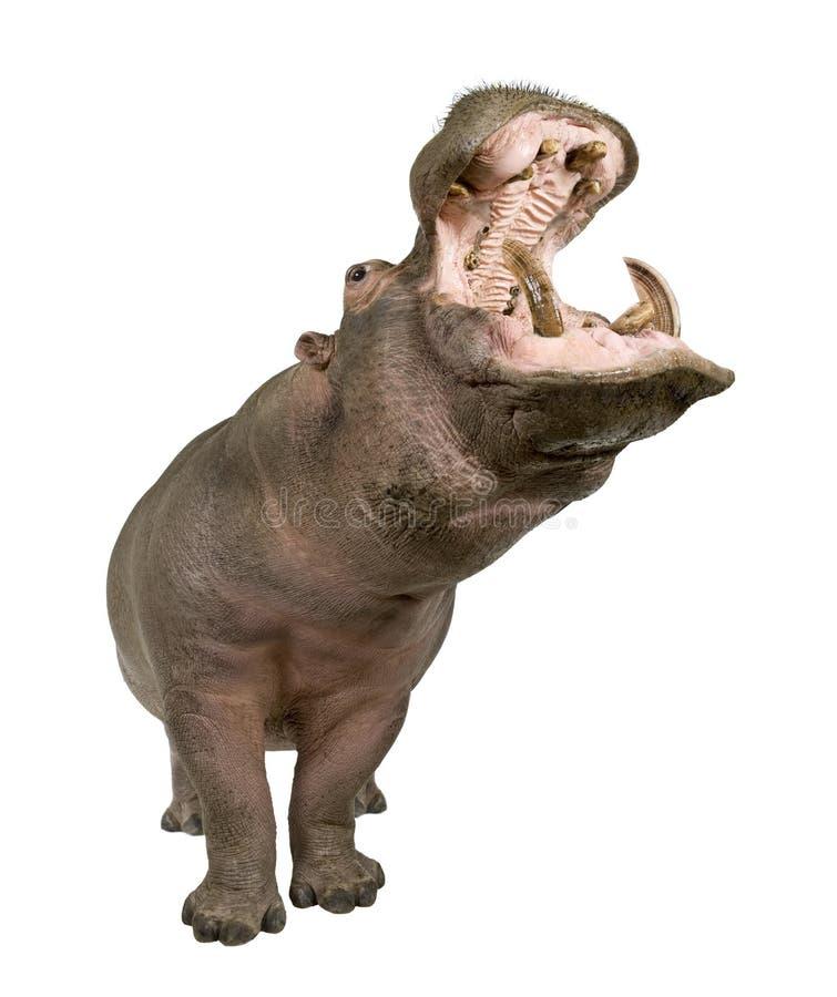 Nijlpaard - amphibius van het Nijlpaard (30 jaar) royalty-vrije stock fotografie