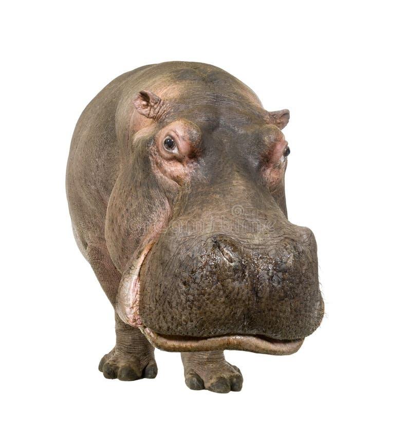 Nijlpaard - amphibius van het Nijlpaard (30 jaar) stock fotografie