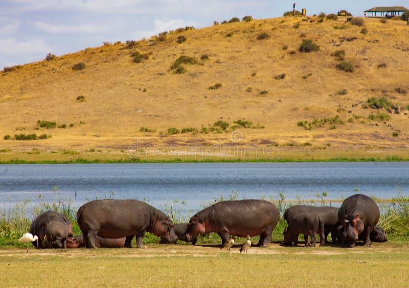 Nijlpaard in de wildernis wordt gevangen die stock afbeelding