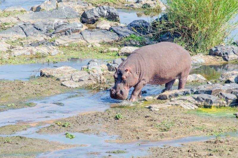 Nijlpaard die in Krokodilrivier lopen stock foto's