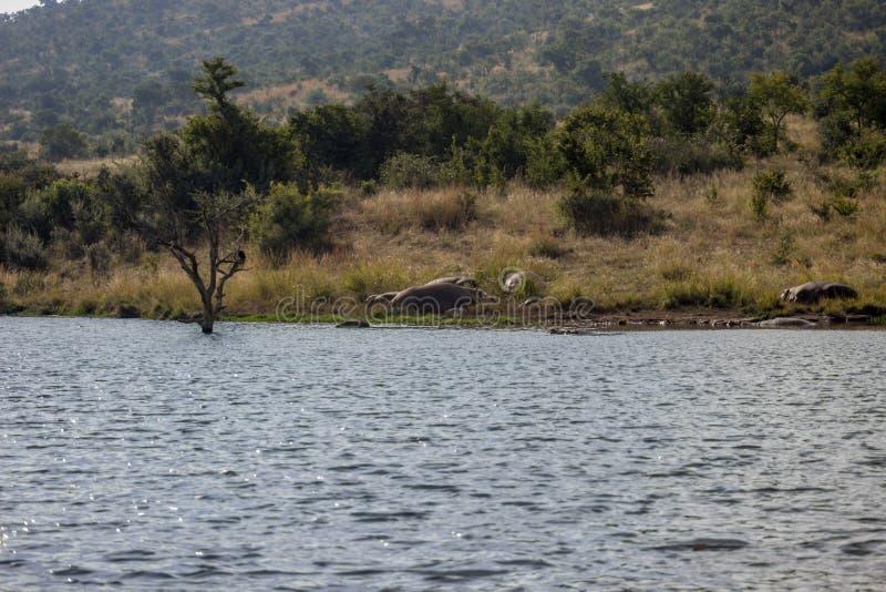 Nijlpaard die naast water zonnebaden royalty-vrije stock foto's