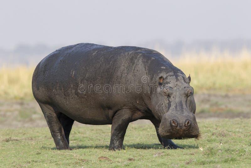 Nijlpaard die van de rivier opstappen royalty-vrije stock fotografie