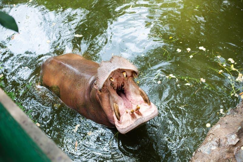 Nijlpaard met Open Mond stock fotografie