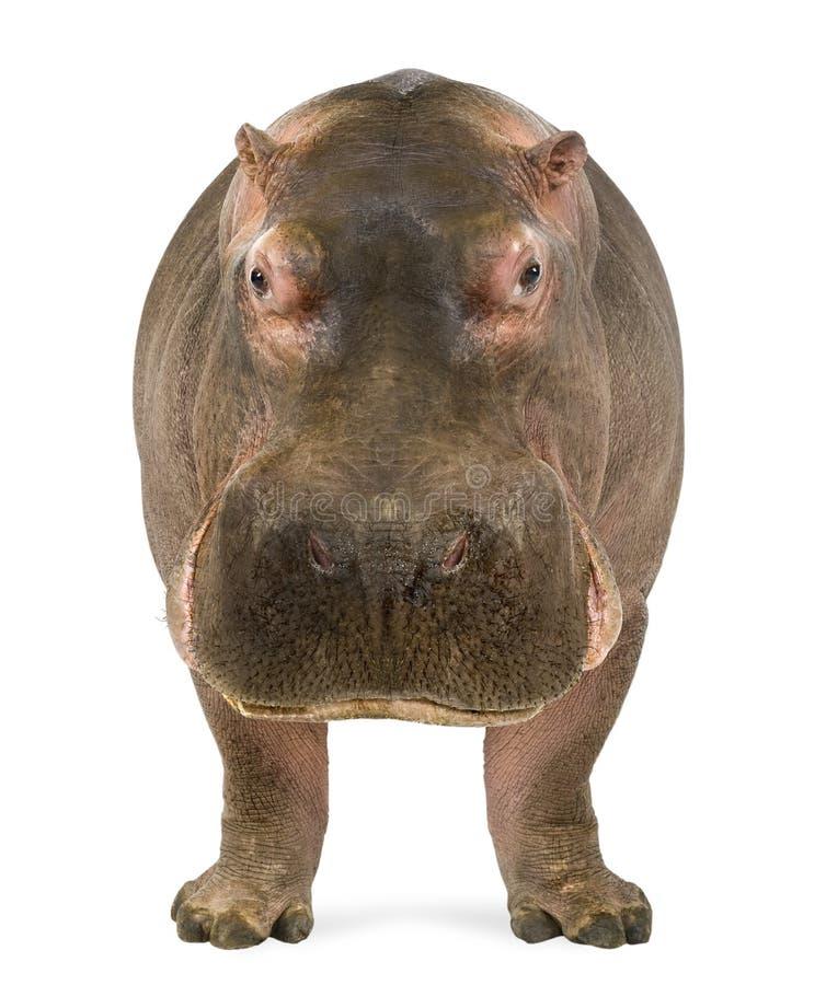Nijlpaard, Nijlpaardamphibius, die de camera onder ogen zien royalty-vrije stock afbeelding