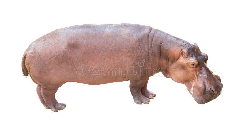 Nijlpaard op geïsoleerde achtergrond stock afbeelding