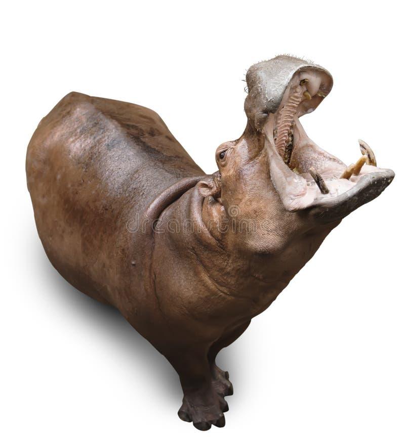 Nijlpaard op wit royalty-vrije stock afbeeldingen