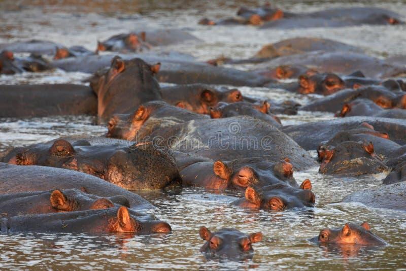 Nijlpaard in rivier stock foto