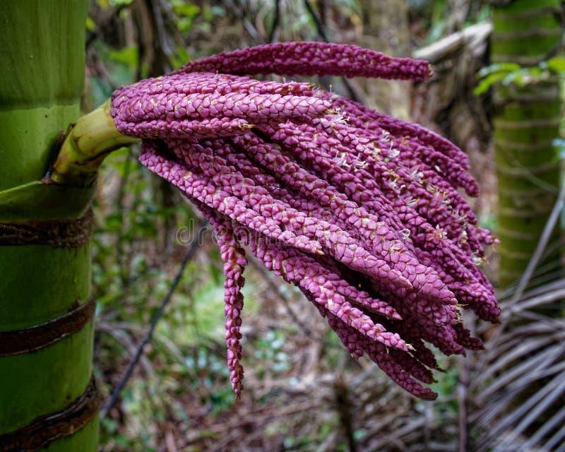 Nikau gömma i handflatan blomman, Nya Zeeland royaltyfria foton