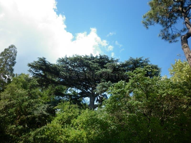 Nikitsky Botanical garden in Crimea. Yalta. Old tall tree. stock photo