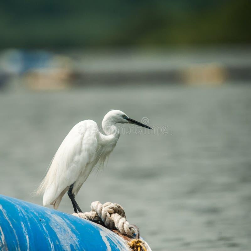 Nil Egret, Jinja Uganda fotografia royalty free