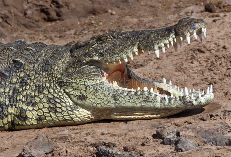 Nil-Krokodil - Chobe Fluss- Botswana stockbild