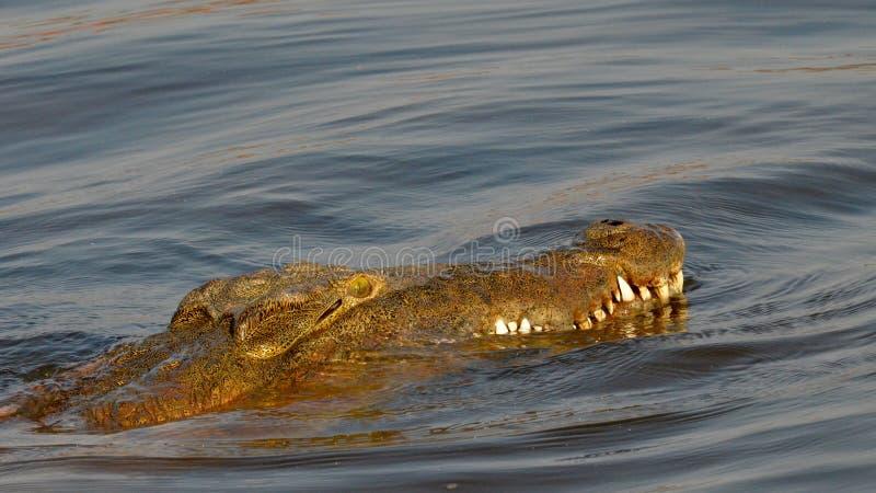 Nil krokodyl fotografia stock