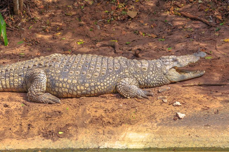 Nil krokodyl gniewny obraz royalty free